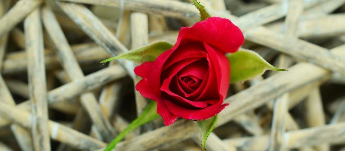 rose-829176_1280-1140x500
