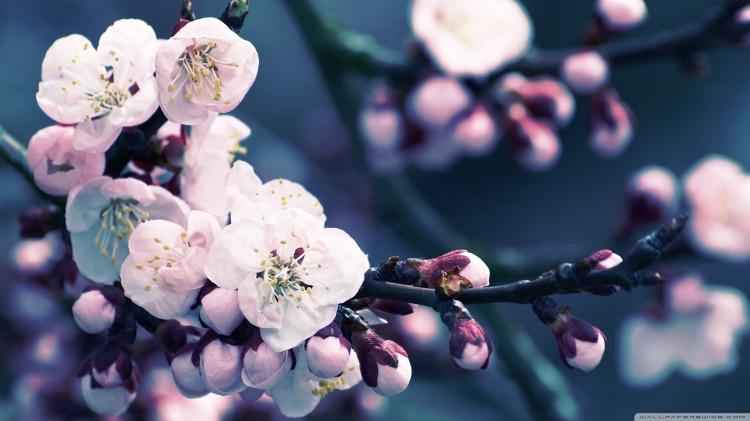 apricot-flower-wallpaper-1