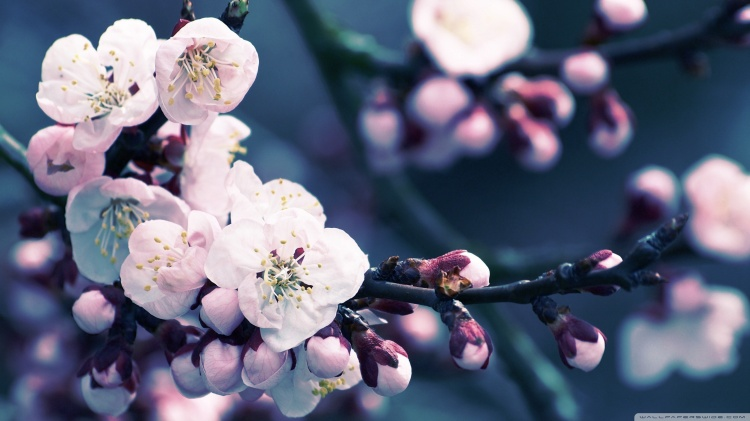 apricot-flower-wallpaper-1